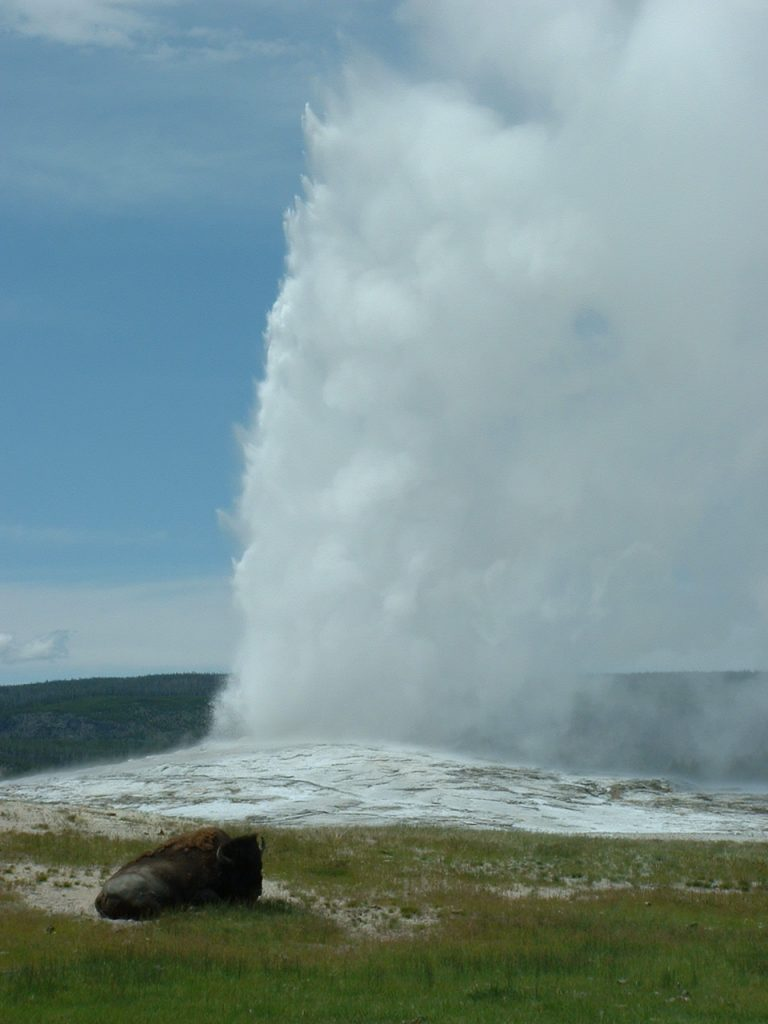 geothermal - buffalo at Old Failthful geyser